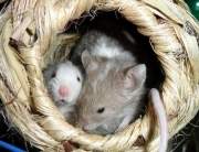 Mice in a nest