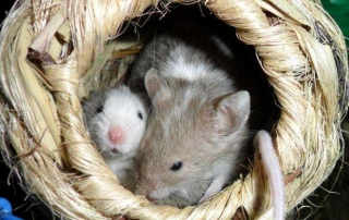 Mice in a nest